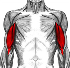 Drawing of human muscular system highlighting the biceps in red