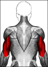 Anatomical drawing of the human musculature system highlighting the triceps in red