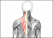 Anatomical drawing of the human musculature system highlighting the Upper Trapezius muscle in red