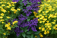 Flowers: Heliotrope and marigold lemon gem
